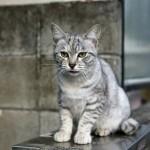 Australian Mist Cat Information and History
