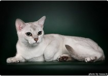 Burmilla Cat breed Information and history