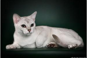 Burmilla Cat breed Information and history