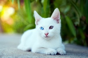 ขาวมณี khaomanee Cat from Thailand - Breed Information