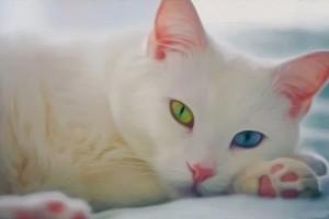 Khaomanee or Khao manee Cat Breed Information