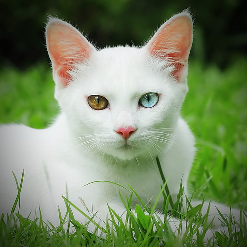 The Khaomanee or Khao Manee Cat Breed