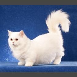 minuet cat (Napoleon cat)
