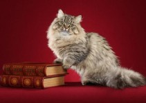 MINUET CAT BREED