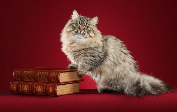 MINUET CAT BREED (Napoleon Cat) | Cat breeds of the world
