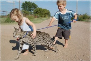 Savannah Cat Breed Information, care & History