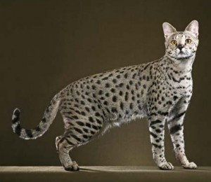 Savannah Cat Breed - Information and history