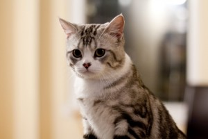 Scottish Straight Cat Breed Information and history