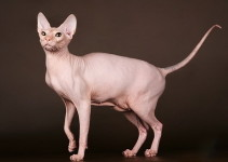 Donskoy Cat Breed from Russia