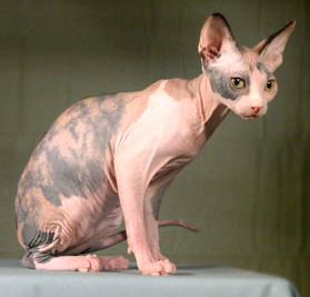 Donskoy Cat Breed