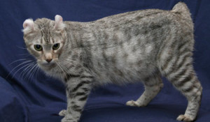 Highlander cat breed