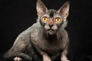 Lykoi Cat Breed