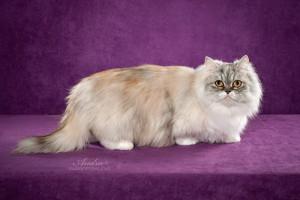 Minuet longhair cat ( Napoleon longhair cat )