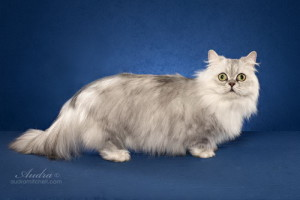 Minuet longhair cat breed