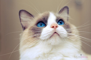 The Most Beautiful Cat Breed ragdoll cat breed