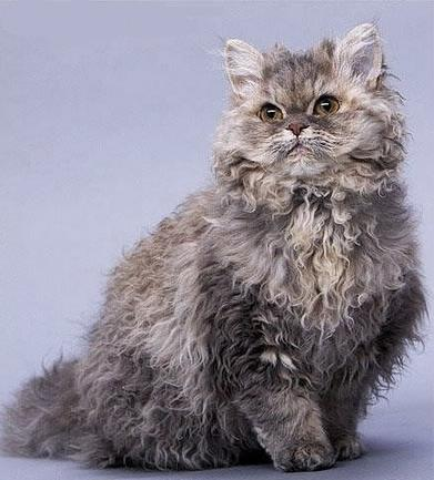 The Most Beautiful Cat Breed SELKIRK REX