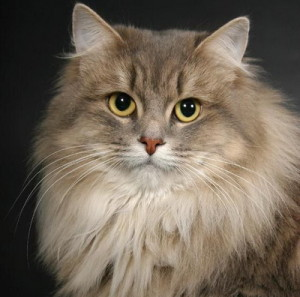 SIBERIAN CAT BREED- The Most beautiful cat breeds