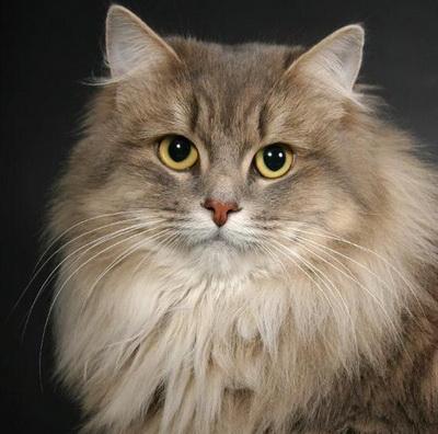 SIBERIAN CAT BREED- The Most beautiful cat breeds