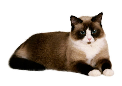 SNOWSHOE CAT - The Most beautiful cat breeds