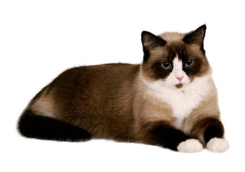 SNOWSHOE CAT - The Most beautiful cat breeds