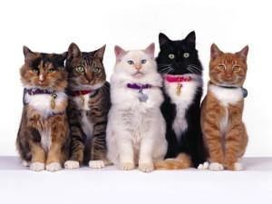 RANKING – Meet the 12 world's rarest Cat Breeds unusual Cat breeds