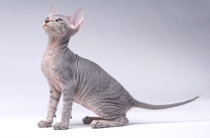 Peterbald Cat breed