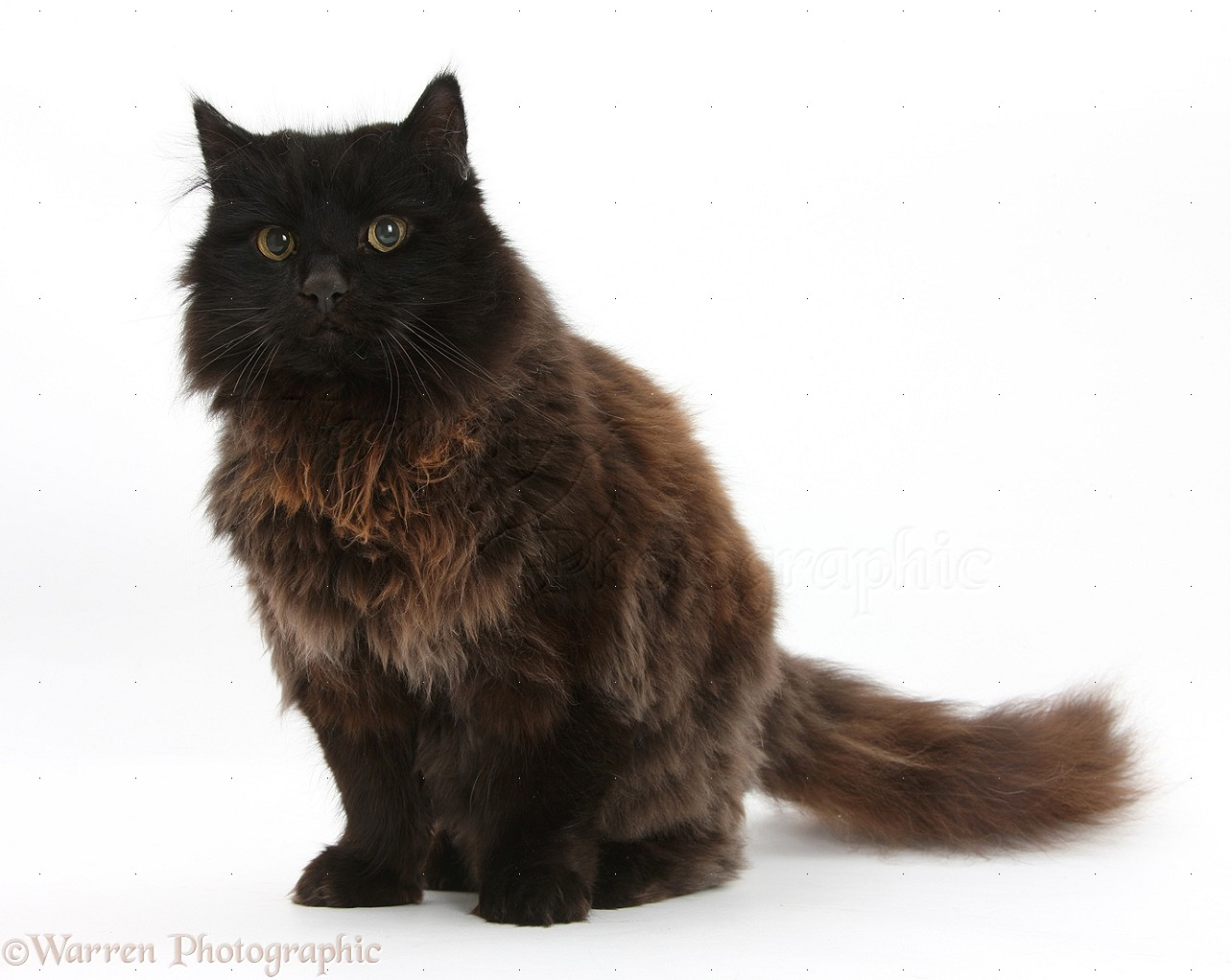 YORK CHOCOLATE CAT BREED