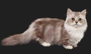 Minuet napoleaon cat breed